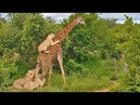 EPIC: Giraffe Gives Lions a Ride!