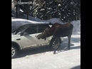 →ЖивотныеАвтоприколы Лось лижет машину Время 038