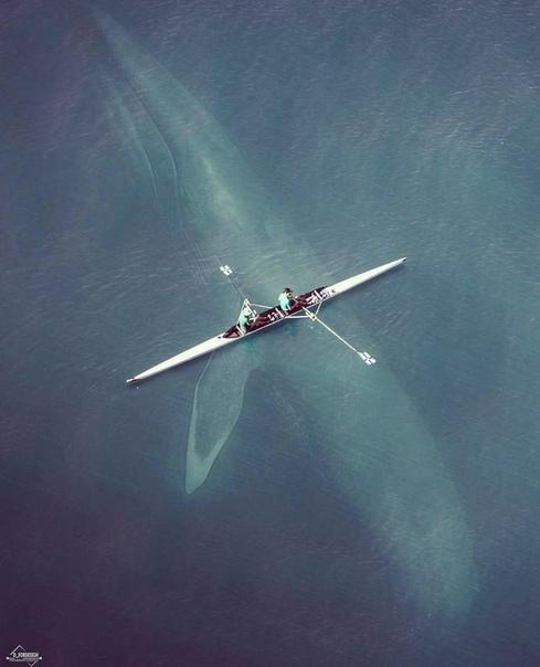 Детеныш синего кита проплывает прямо под 21-футовой лодкой!