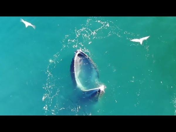 Охотничья хитрость: горбатые киты заставляют рыбу заплывать им в пасть