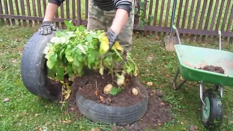 Выращиваем картошку в покрышках. Наш опыт. Смотрите до конца!