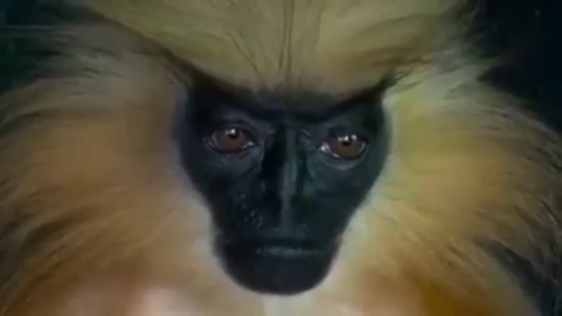 A golden langur's incredibly humanlike features and expressions