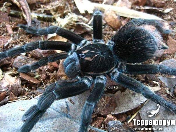 Pamphobeteus sptigris