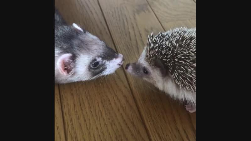 Ferret_hedgehog_chipmunk_BoybMh_BbUY