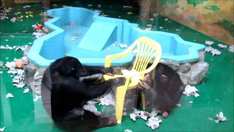 Шимпанзе Филя и Люся Проверка нового стульчика на сертификат и ГОСТ ч 2 22 01 19 г