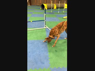 My sister's blind dog loves fetch