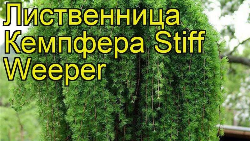 Лиственница кемпфера Стифф Випер. Краткий обзор, описание характеристик larix kaempferi Stiff Weeper