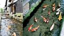 Ikan Koi di Got Jepang Hidup dengan Damai