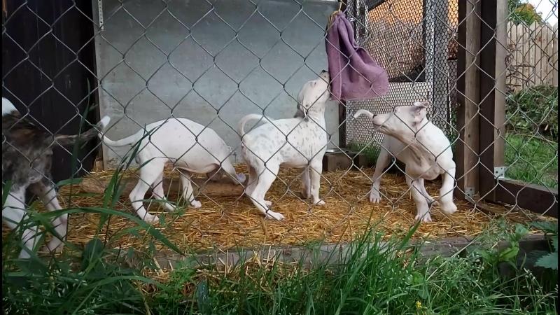 Щенки от вязки пит-бульдогов AREY и TERRY pedigree.gamedogs.czdetails.phpid=341064