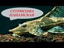 Стурисома Панамская в аквариуме Содержание совместимость разведение чем кормить