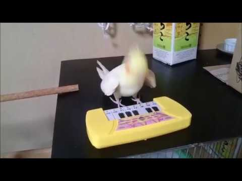 いいちこインコはキーボードを奏でられるのか!?
