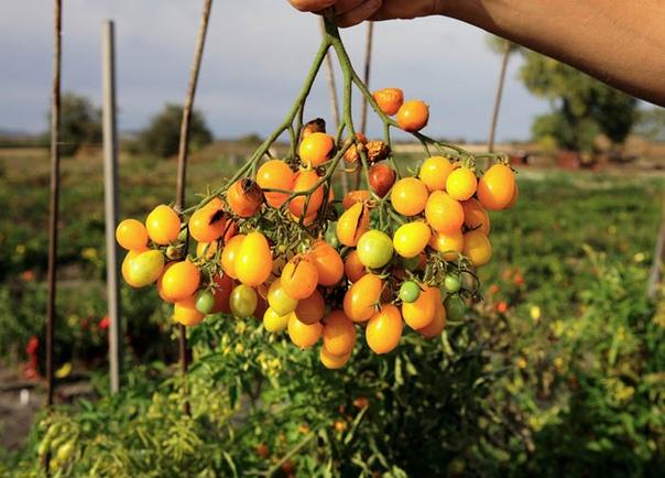 Сорта желтых помидоров для регионов Сибири и Урала. Селекционерами выведены желтоплодные гибридные формы, сорта томатов для зон с коротким летом, ранними наступлениями холодов. В таких регионах