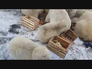 Белые медведи на архипелаге Новая Земля