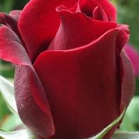 Каменева Роза