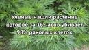 Растение уничтожающее 98% раковых клеток всего за 16 часов