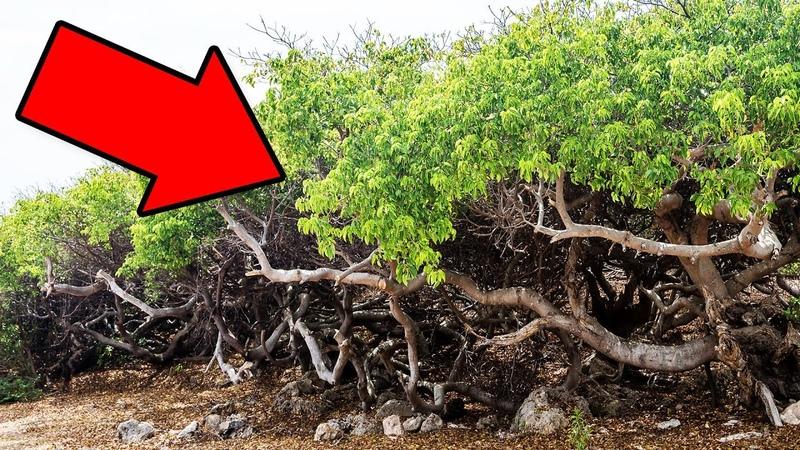 Если Увидите Это Дерево Бегите Подальше и Зовите на Помощь