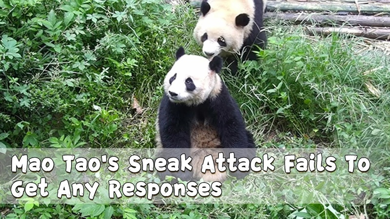 Mao Tao's Sneak Attack Fails To Get Any Responses | iPanda