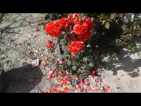 Работа с плетистыми розами на арке, Питомник роз Полины Козлова ,