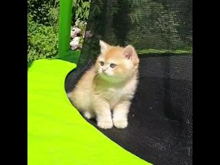 Anmarion_british_kitten_byrfl1hc9ku.mp4