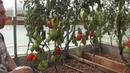 Проверенный сорт томатов Реликвия Магнитки