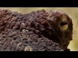 BBC- Прогулка осьминога
