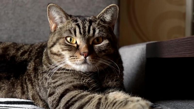 Принципы кормления кастрированного кота