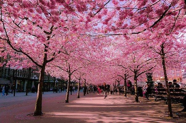 10 самых волшебных улиц мира, украшенных деревьями и цветами Для японцев весна это особое время. С весной у них даже связан отдельный обычай: наблюдение за цветением умэ (японская слива) и