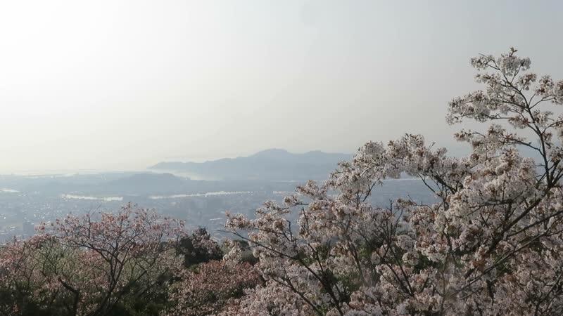 Панорама Токушимы и сакура
