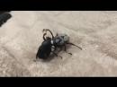 Борьба жуков