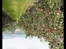 № 248 Даниэль Булочник необыкновенный яблоневый сад