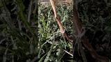 Как ускорить вызревание лозы винограда. Тигран Иванов