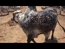 98K Cow cattle Interesting Facts Got This Bull from Cow Karachi in Mandi 2018 urdu