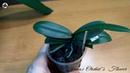 Зелёнка. Гнили и болезни орхидей: профилактика и оздоровление