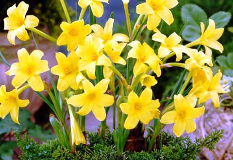 Хлидантус  перуанская лилия