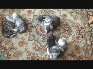 Лапины вислоушки. Котята шотландские казань