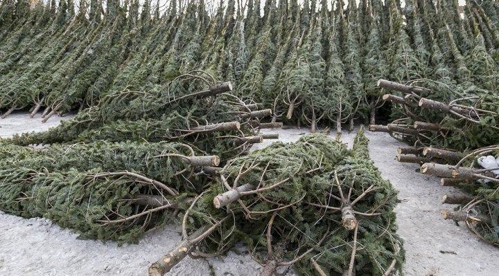 В Хабаровске начинается продажа новогодних елок