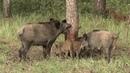 Zasady ochrony świń przed ASF