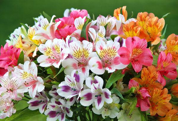 Альстромерия Своим внешним видом альстромерия очень напоминает лилии и лилейники. Хотя их частенько и путают, но это разные цветы. А вот по технологии выращивания этот цветок очень сходен с