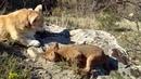 Всафари-парке Геленджика корги взяли под опеку краснокнижных волчат. Новости. Первый канал