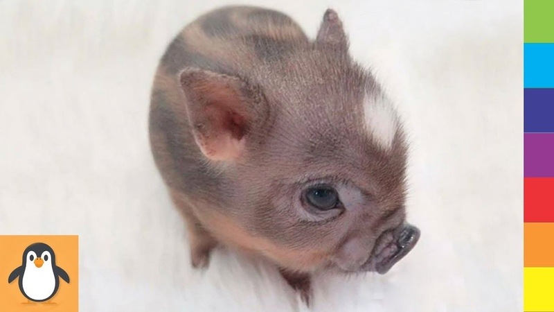 Cutest Pig Babys 🔥 Funny and Cute Pigs Videos Compilation