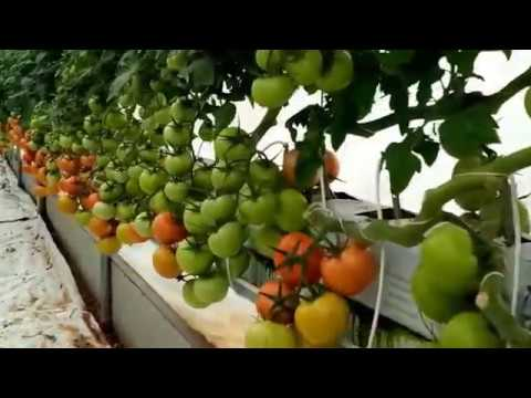 Smart Farming - Grow Hydroponic Tomatoes