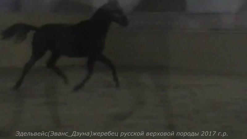 Эдельвейс(Эванс-Дзуна)жеребец русской верховой породы 2017 г.р.