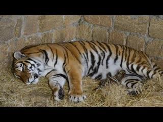 Это НЕ ВОЗМОЖНО сделать нигде больше ,мы заходим к тигрице и малышу Алтаю