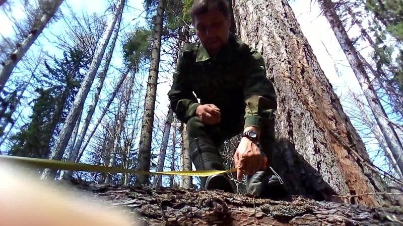 Домовой измеряет упавший ствол лиственницы