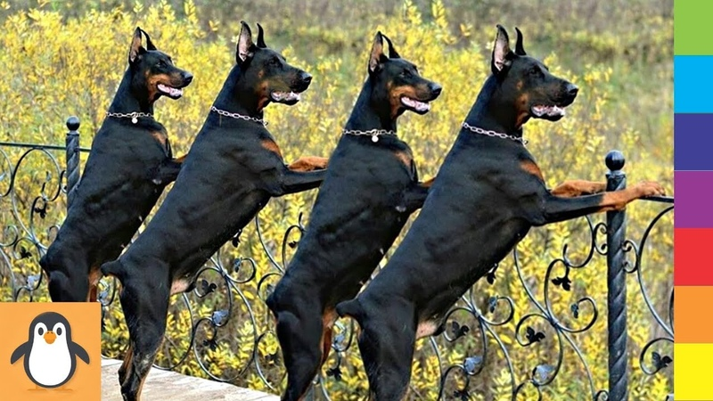 4 Doberman Lovers 🔥 Funny and Cute Doberman Dogs Videos Compilation