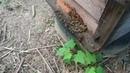 中華大虎頭蜂攻擊蜜蜂