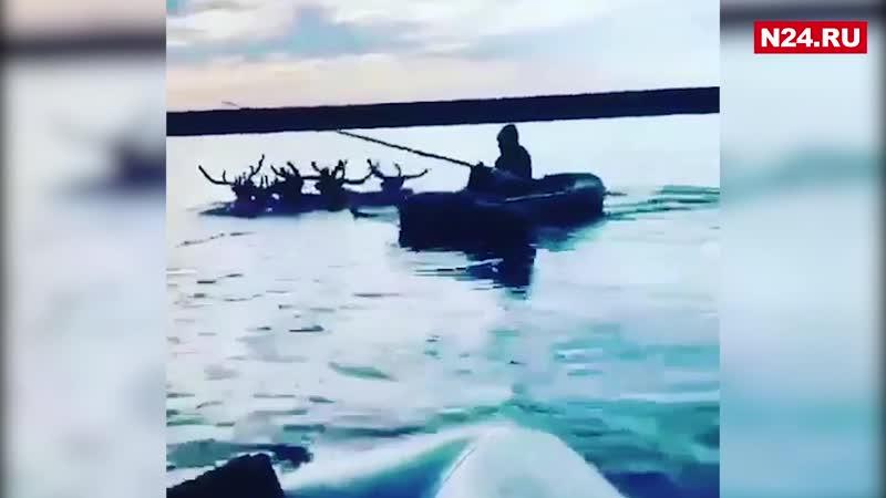 Ямалец переплыл реку на лодке запряженной оленями
