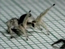Крутой паук танцует кубинский танец