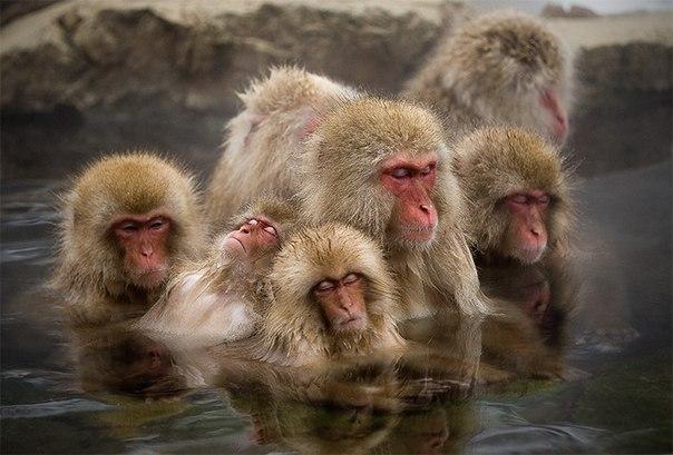 Парк снежных обезьян Парк снежных обезьян или Джигокудани - необычное место, лежащее на высоте 850 метров в долине реки Ёкою на острове Хонсю, Япония.Из-за крутых скал, холодных густых лесов,