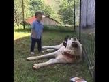 Küçük çocuk afyon kangal köpeği ile oynuyor